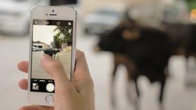 A menina toma imagens da vaca na rua da cidade - Mestia, Geórgia video estoque