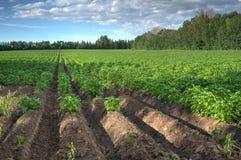 Mening aan Aardappelgebied in zonnige dag Stock Foto