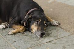 Mening av hundno1en Fotografering för Bildbyråer