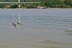 Mening bij Donau, eenden, boot het stromen en overkant die van rivier zwemmen royalty-vrije stock fotografie