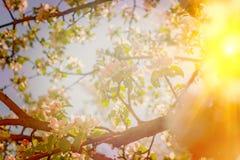 Mening door tot bloei komende kegel van appletree met doorzichtige zon i Stock Foto