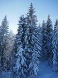 Mening over altijdgroene die bomen met sneeuw worden behandeld Stock Foto's