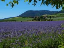 Mening over blauw Purper Tansy-gebied in platteland in hete de zomerdag Groenachtig blauwe purpere bloemen in bloesem Royalty-vrije Stock Foto's