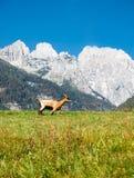 Het landschap van de berg met geit Royalty-vrije Stock Foto