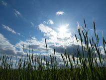 Mening over een blauwe hemel van het graangewassengebied Stock Foto's