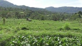 Mening over gebieden met groenten van berg en huis van landbouwers Bali, Indonesië stock footage