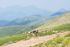 Mening over het weiland van de koeien Royalty-vrije Stock Afbeeldingen