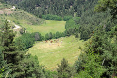 Mening over het weiland van de koeien in de bergen Stock Foto