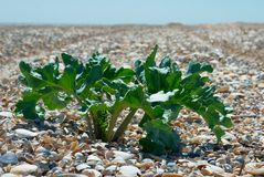 Mening over overzees shells strand met Crambe maritima (overzees-boerenkool of crambe) Stock Foto