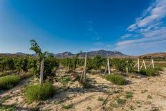 Mening over rijen van wijnstokken die bij het steunen van draden hangen en conc stock foto's