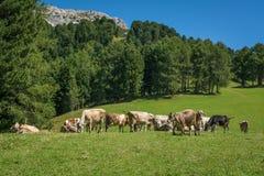 Mening van alpiene berg scenary met geweide koeien op een de zomerdag Dolomietbergen, Zuid-Tirol, Italië Royalty-vrije Stock Afbeeldingen