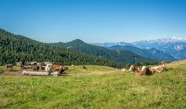Mening van alpiene berg scenary met geweide koeien op een de zomerdag Dolomietbergen, Zuid-Tirol, Italië Stock Foto