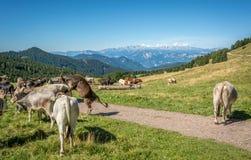 Mening van alpiene berg scenary met geweide koeien op een de zomerdag Dolomietbergen, Zuid-Tirol, Italië Royalty-vrije Stock Foto's