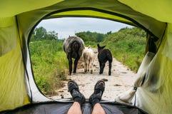 Mening van binnenuit een tent op sheeps en de vuile weg Stock Afbeelding