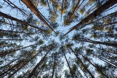 Mening van bovenkant van sparren bij bos Royalty-vrije Stock Foto's