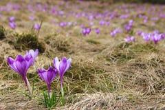 Mening van close-up bloeiende violette krokussen onder mos en droog gebladerte mooie eerste de lentebloemen Stock Fotografie