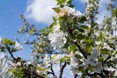 Mening van de appelbloesem op een achtergrond de de lentehemel Royalty-vrije Stock Foto's