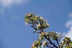 Mening van de appelbloesem op een achtergrond de de lentehemel Stock Afbeeldingen
