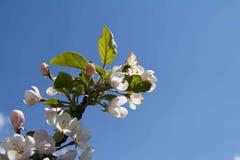 Mening van de appelbloesem op een achtergrond de de lentehemel Stock Fotografie