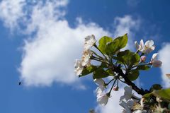 Mening van de appelbloesem op een achtergrond de de lentehemel Stock Foto's