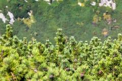 Mening van de Bergen van Tatra van de pijnboomboom van wandelingssleep polen europa Royalty-vrije Stock Afbeeldingen