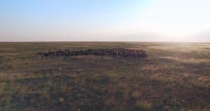 Mening van de Cinematic de luchthommel van schapen in Oekraïense prairiesteppe bij zonsondergang stock video