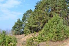 Mening van de pijnboom de boslente, landschap van Wit-Rusland stock afbeelding