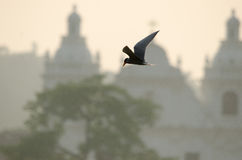 Mening van de vogel: Geschoten in Goa, India Dit is een Rivierstern Stock Foto