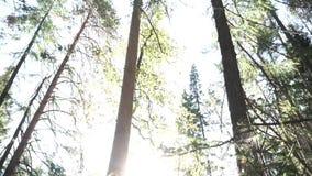 Mening van de de zomer de bosbodem met weelderig gebladerte en heldere zon lengte Groene sparren en pijnboombomen tegen de duidel stock footage