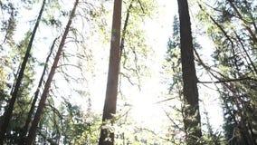 Mening van de de zomer de bosbodem met weelderig gebladerte en heldere zon lengte Groene sparren en pijnboombomen tegen de duidel stock videobeelden