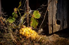 Mening van druivenbossen op oudste vensterbank in oktober royalty-vrije stock fotografie