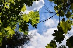 Mening van een blauwe hemel, witte wolken en groene bladeren op een zonnige dag Royalty-vrije Stock Foto