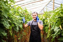 Mening van een jonge aantrekkelijke vrouw die tomantoes in green oogsten stock afbeelding