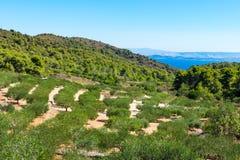 Mening van een een olijfboomgaard of bosje op het Eiland Vis in Kroatië met het Adriatische overzees en eilanden op de achtergron stock afbeeldingen