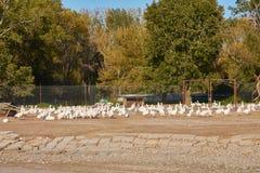 Mening van een troep van witte gans op een gevogeltelandbouwbedrijf dichtbij een gebouw royalty-vrije stock foto's