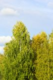 Mening van een wijfjesboom met gele bladeren in de herfst tegen duidelijke blauwe hemel op een zonnige dag Royalty-vrije Stock Afbeelding