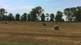 Mening van gele de zomergebieden met hooibergen van het bewegen van autoraam Stoppelvelden stock footage