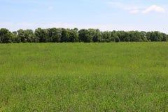 Mening van groen luzerne-gebied onder blauwe hemel Stock Foto's