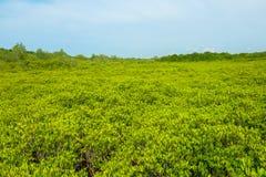 Mening van het gebied van Ceriops Tagal in mangrovebos dat in Rayong wordt gevestigd Stock Foto
