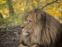 Mening van het leeuw de mannelijke ontspannende portret in gele kleuren royalty-vrije stock fotografie