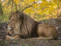 Mening van het leeuw de mannelijke ontspannende portret in gele kleuren stock afbeeldingen