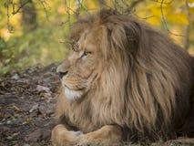 Mening van het leeuw de mannelijke ontspannende portret in gele kleuren royalty-vrije stock foto's