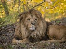 Mening van het leeuw de mannelijke ontspannende portret in gele kleuren royalty-vrije stock afbeelding