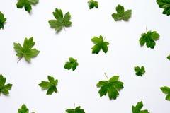 Mening van hierboven over Groene Esdoornbladeren Royalty-vrije Stock Afbeelding