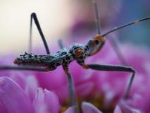 Mening van insecten met lange die benen en snorren, benen op roze bloemen worden gespeld Royalty-vrije Stock Afbeeldingen