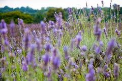 Mening van Lavendel bij het Mayfield-Lavendellandbouwbedrijf Stock Foto