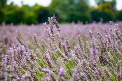 Mening van Lavendel bij het Mayfield-Lavendellandbouwbedrijf Stock Afbeeldingen