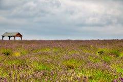 Mening van Lavendel bij het Mayfield-Lavendellandbouwbedrijf Stock Fotografie