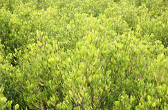 Mening van Mangrove Forest From Above Royalty-vrije Stock Afbeelding