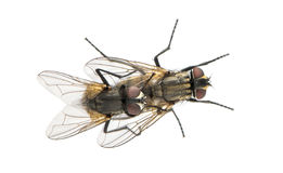 Mening van omhoog hoogte van twee Huisvliegen die, Muscidae copulating Royalty-vrije Stock Fotografie